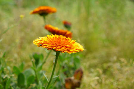 The orange-red hawkweed in a blurred background. A green meadow. Hieracium. This flower is related to the dandelion. In Germany farmers often plant flower seeds at the edges of their fields to attract Standard-Bild