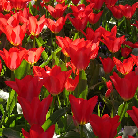 Cheerful crimson red tulips in the sunlight. It's springtime