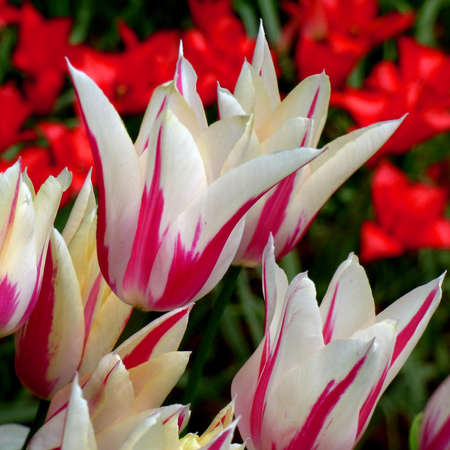 Pink white lily flowering tulip called Marilyn with red tulips in the background. Lily-flowered Tulipa. It's springtime