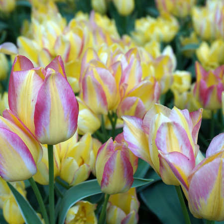 Pink-yellow-white colored tulips with yellow tulips in the background. It's springtime