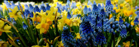 Blue and yellow spring flowers Daffodils and grape hyacinths are always a good combination. It's spring. Yellow narcissus. Blue muscari.