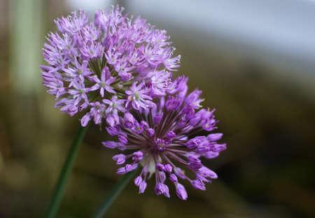 Two beautiful purple onion flowers. Cultivated sort Allium hollandicum.