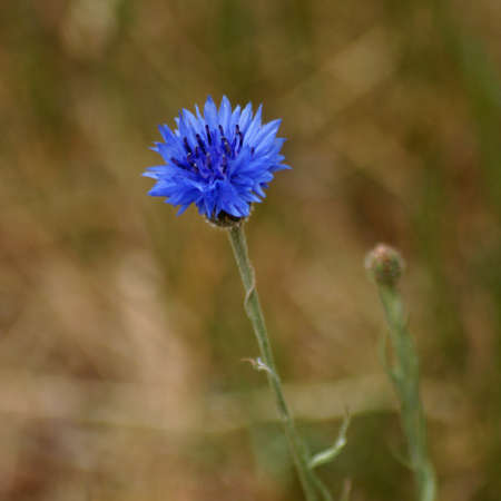 Blue cornflower against a blurred light brown background. Other names of this plant are: Centaurea cyanus, bachelor's button