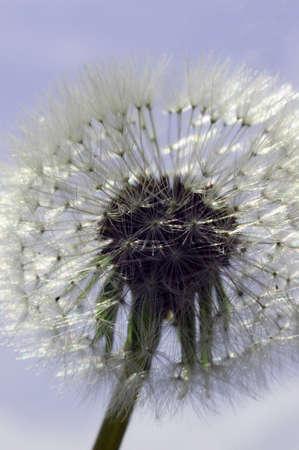 Fluffy dandelion seeds reflecting the sunlight. Light blue sky. Seed bulb. Pollen