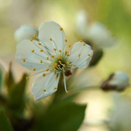 White spring flower. An apple blossom against a light green background. Lovely bokeh.