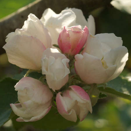 Soft pink-white blossoms from an apple tree