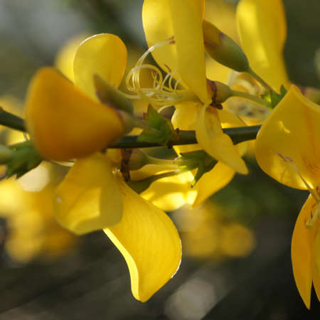 Close-up of the yellow flowers of a broom bush. Lovely blurred background.The Cytisus scoparius, Scotch broom, English broom or common broom blooms in May Standard-Bild