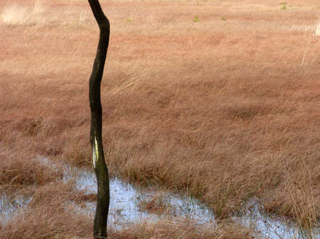 Trunk of a dead tree standing in a fen. Brown grass in the background. Combination of light and dark brown. Part of the largest wet heath-land of Western-Europe: Dwingelderveld National Park Standard-Bild