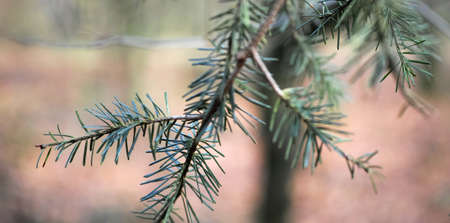 A branch from a fir tree with very soft blurred background. Location: Dwingelderveld in the North of the Netherlands Standard-Bild