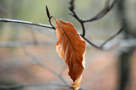 Last leaf on a tree. A beech leaf. Lovely pastel colored background. Light green and light brown. Wintertime in the Netherlands