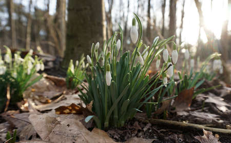Hurray! The first snowdrops spotted in the forest. The end of winter. Trunks of trees are seen blurred in the background. Standard-Bild