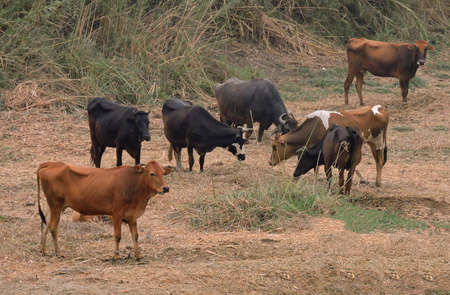 Group of brown and black cows standing on the Nile bank.