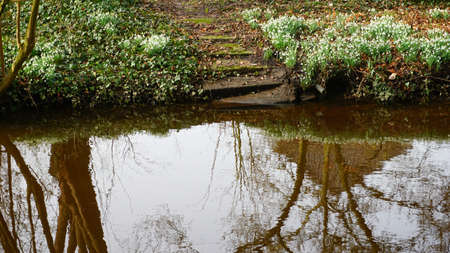 Snowdrops reflected in the water. Between the huge amount of snowdrops is a stairway to the water edge. Trees are reflected in the brown water as well.