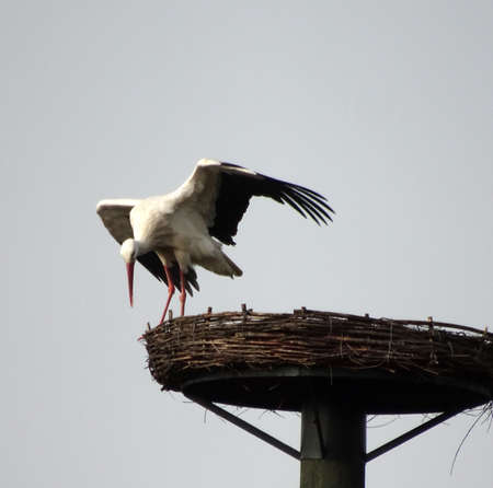 This white stork has just finished the viewing of a stork nest specially created for his species