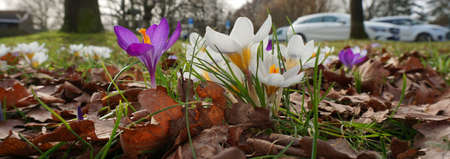 Purple and white crocuses between the fallen leaves. Blurred are some cars on a parking place. Standard-Bild