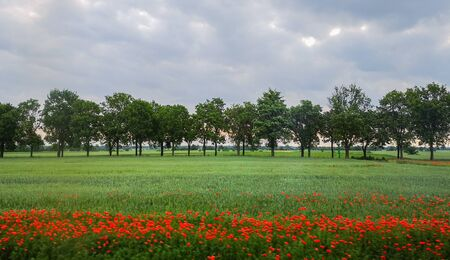 Green field with few poppy flowers in front of Line of green trees at sunny morning