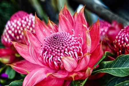Waratah Protea - Teleopea speciosissima inflorescence  - Australien Фото со стока