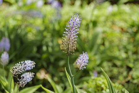 Blauer Ingwer - Dichorisandra thyrsiflora