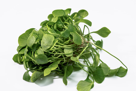 the miners: Miners lettuce - Spring Beauty