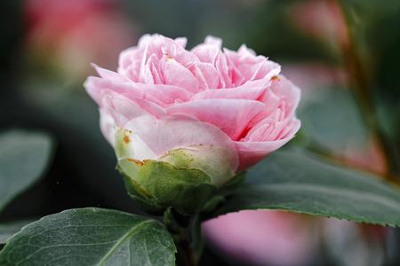 Pink Camellia- Camellia japonica L. Debutante Theaceae Stock Photo