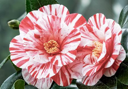Red White Camellia - Camellia japonica L. Ezo - Nishiki