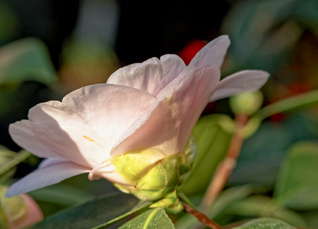 blte: White pink Camellia - Camellia japonica L. DW Davis