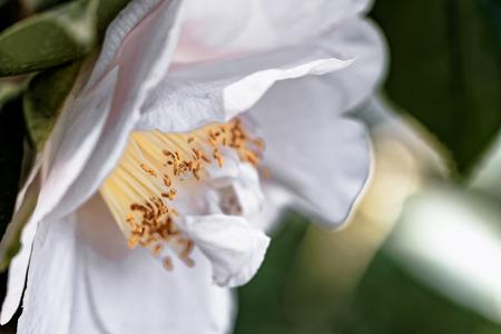 blume: White pink Camellia - Camellia japonica L. DW Davis