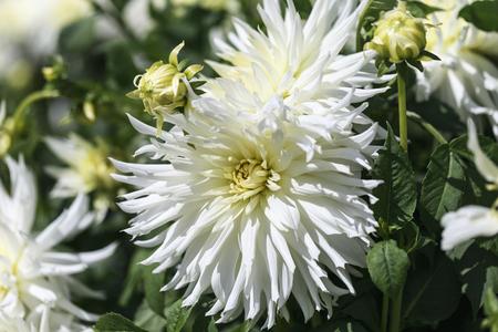 Cactus - Dahlia Hy Mom