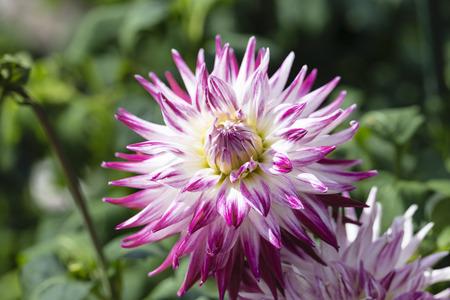 rosa: Semi-cactus dahlia sorbet Stock Photo