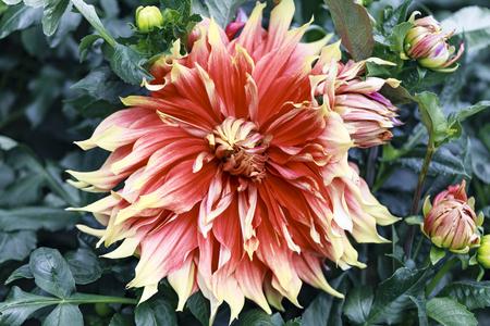 Half-cactus dahlia Autumn Sunburst