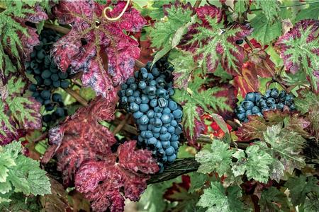 Reife rote Trauben mit herbstlichen Blättern Standard-Bild - 87721470