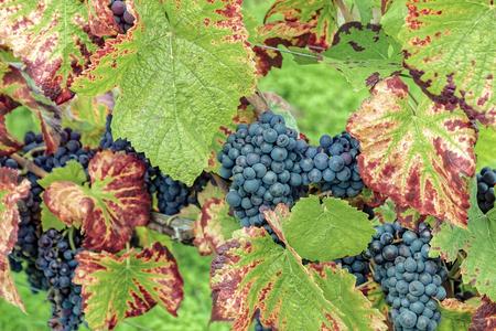 Reife rote Trauben mit herbstlichen Blättern Standard-Bild - 87721486