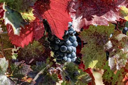 Ripe red grapes with autumnal leaves Stock Photo
