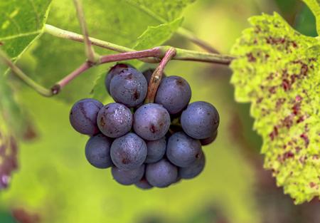 Reife rote Trauben mit herbstlichen Blättern Standard-Bild - 87721500