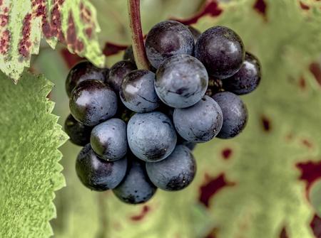 Reife rote Trauben mit herbstlichen Blättern Standard-Bild - 87721513