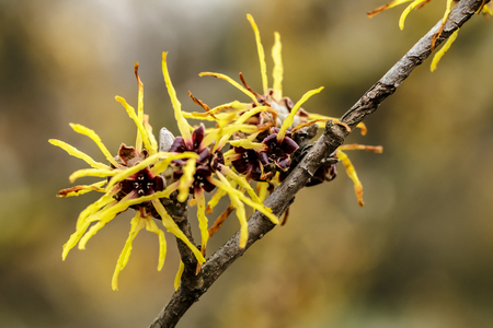 Witch hazel japonica, yellow flowering Japanese witch hazel 写真素材