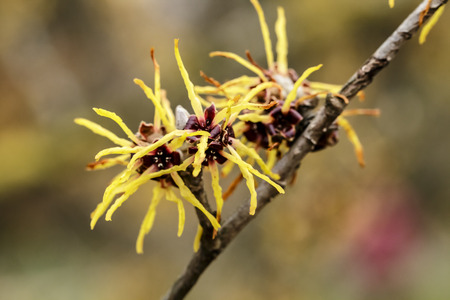 Witch hazel japonica, yellow flowering Japanese witch hazel 스톡 콘텐츠