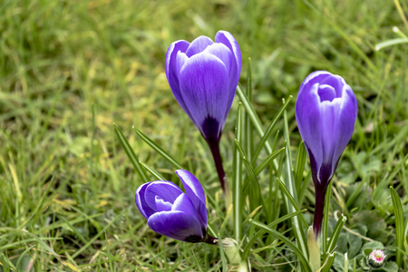 White Violet striped crocus flowers in a spring meadow