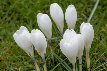 White crocus flowers in a spring meadow stock photo picture and stock photo white crocus flowers in a spring meadow mightylinksfo