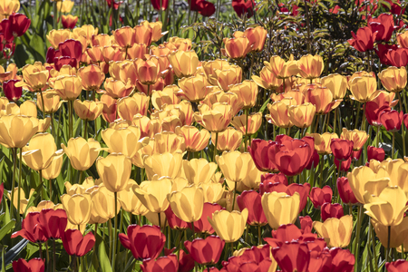 Flower meadow with yellow and red tulips in the morning sunlight in Wiesbaden Standard-Bild - 127443733