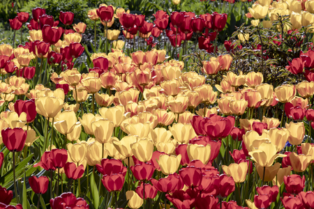 Flower meadow with yellow and red tulips in the morning sunlight in Wiesbaden Standard-Bild - 127443736