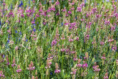 Summer meadow with pink meadow sage