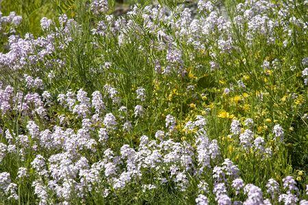 Flower meadow with Abruzzo grass cloves - Armeria majellensis