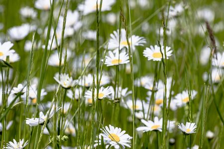 Meadow daisies with green grasses