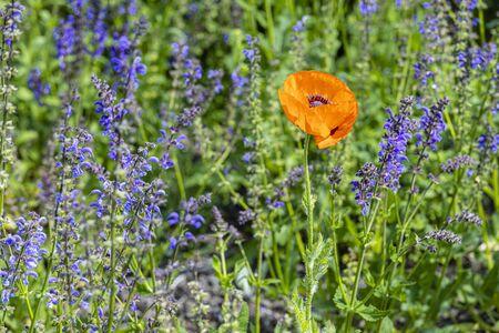 Turkish poppy with meadow sage - Papaver oriental - Salvia pratensis Standard-Bild - 127444273