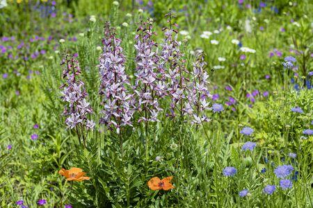 Flower meadow with Diptam - Dictamnus albus Фото со стока