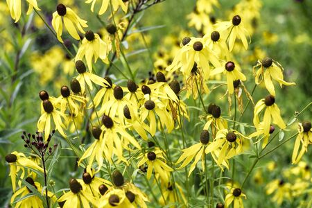 Prairie cone flower - Ratibida pinnata