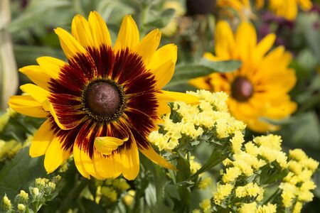 Osteospermum ecklonis 'Summersmile Yellow', cape basket Фото со стока