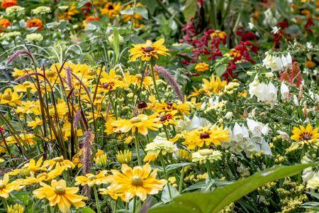 Yellow daisy family and white-throated foxglove 'Alba'