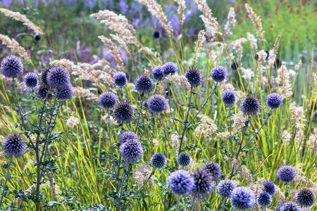 Blue thistles with pampas grass